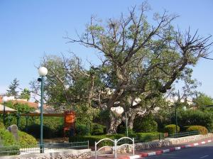 Sycamore Tree in Palestine